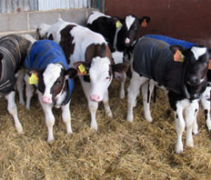 Profitable calf rearing with SkimSmart