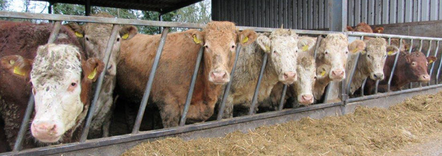 Meath farmer reaps the benefits from our Gold Finisher Ration
